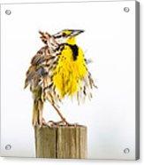 Flluffy Meadowlark Acrylic Print