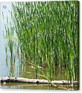 Floating Log In A Marsh Acrylic Print