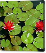 Floating Red Water Lilly Flowers On Pond Acrylic Print