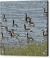 Flock Of Canada Geese   #7116 Acrylic Print