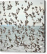 Flock Of Dunlin Acrylic Print by Karol Livote