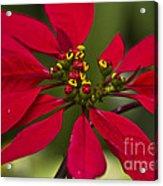 Flor De Nochebuena Acrylic Print