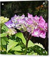 Floral Art Photography Pink Lavender Hydrangeas Acrylic Print