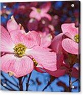 Floral Art Print Pink Dogwood Tree Flowers Acrylic Print