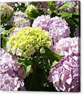Floral Pink Lavender Hydrangea Garden Art Prints Acrylic Print