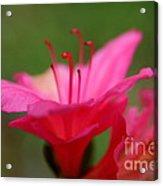 Floral Rosa Acrylic Print