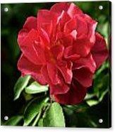 Floribunda Rose 8978 Acrylic Print