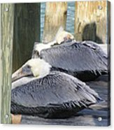 Florida Brown Pelicans Acrylic Print by Tracy L Teeter