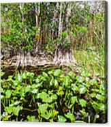 Florida Everglades Acrylic Print