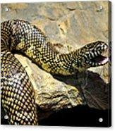Florida King Snake Lampropeltis Getula Floridana Usa Acrylic Print