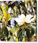 Florida Magnolia Acrylic Print