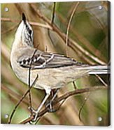 Florida Mockingbird Acrylic Print
