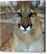 Florida Panther, Endangered Acrylic Print