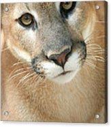 Florida Panther Acrylic Print by Karen Lindquist