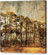 Florida Pine 4 Acrylic Print