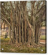 Florida Rubber Tree, C1900 Acrylic Print