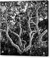 Florida Scrub Oaks Bw   Acrylic Print