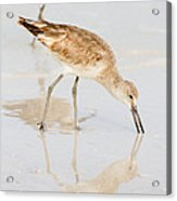 Florida Shorebirds - Willets In Their Summer Finery Acrylic Print