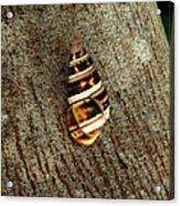 Florida Tree Snail. Everglades N.p. Acrylic Print