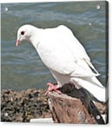 Florida White Pigeon Acrylic Print