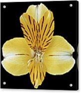 Flower 001 Acrylic Print