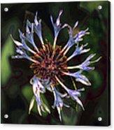 10415 Cornflower Acrylic Print