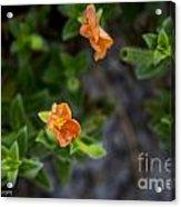 Flower 20 Acrylic Print