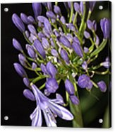 Flower- Agapanthus-blue-buds-one-flower Acrylic Print