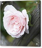 Flower Among The Fence Acrylic Print