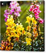 Flower - Antirrhinum - Grace Acrylic Print by Mike Savad