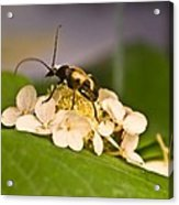 Flower Beetle Acrylic Print