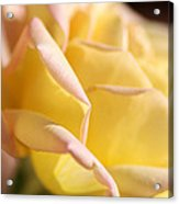 Flower-bright Yellow-rose With Pink Acrylic Print