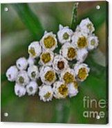Flower Buttons Acrylic Print