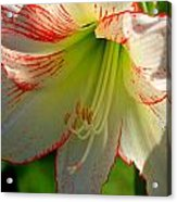Flower Child Amaryllis Flower Art Acrylic Print