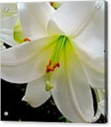 Flower Christmas Lily. Acrylic Print by Joyce Woodhouse