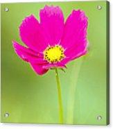 Flower - Closeup Acrylic Print