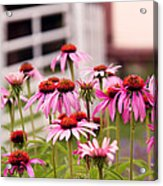 Flower - Cone Flower - In An English Garden  Acrylic Print