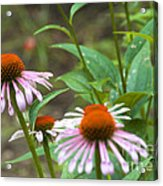 Flower - Cone Flower- Luther Fine Art Acrylic Print