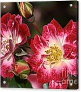 Flower-cream-pink-red-rose Acrylic Print