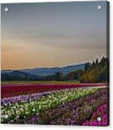 Flower Fields 2 Cropped Into A Standard Ratio Acrylic Print