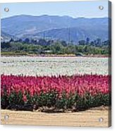 Flower Fields Of Lompoc Valley Acrylic Print