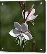 Flower-gaura-white  Acrylic Print