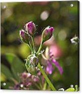 Flower-geranium Buds Acrylic Print