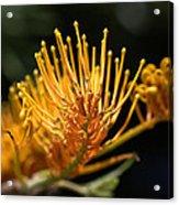 Flower-grevillea-australian Native Acrylic Print