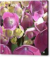 Flower-hydrangea Pink Acrylic Print