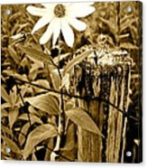 Flower In Sepia Acrylic Print