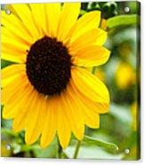 Flower In The Sun Acrylic Print