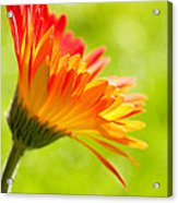 Flower In The Sunshine - Orange Green Acrylic Print by Natalie Kinnear