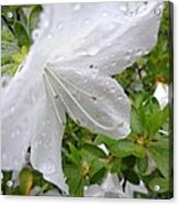 Flower Laced With Rain Drops Acrylic Print