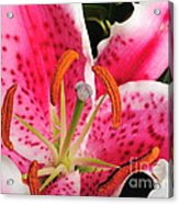 Flower Lily Stargazer Acrylic Print